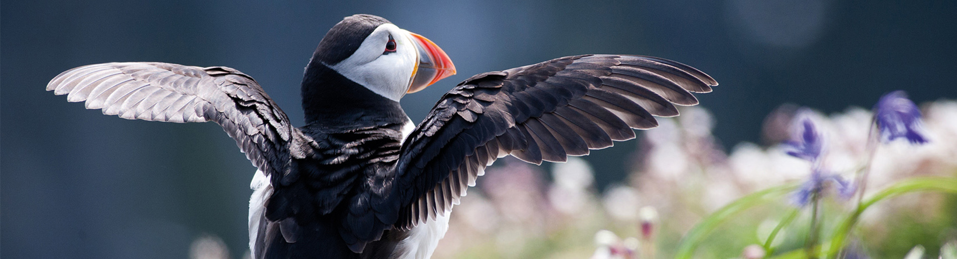 Puffin stretching wings